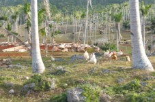 Plantation – at Bavatu Bay on Vanu Balavu, chickens eating table scraps from Code Blue. Note the Coconut trees in not great shape, Leaf branches are finally coming out on some, 5 years before coconuts show up.