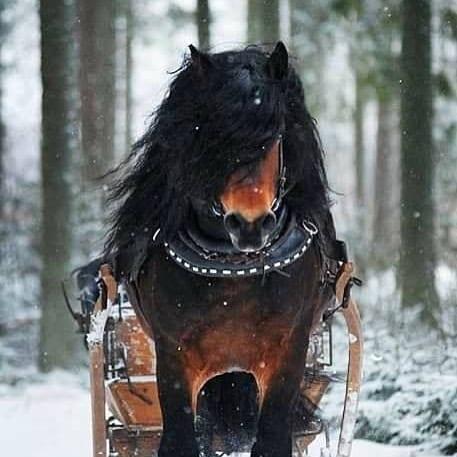 Vinnande vinterbilden frn SHs Facebooktvling Nordsvenska Dior svehast svenskahstavelsfrbundet nordsvenskbrukshsthellip