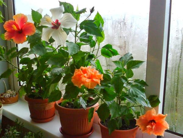 Китайская роза комнатная: уход в домашних условиях ...