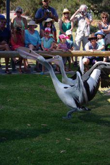 Pelican feeding in Kalbarri