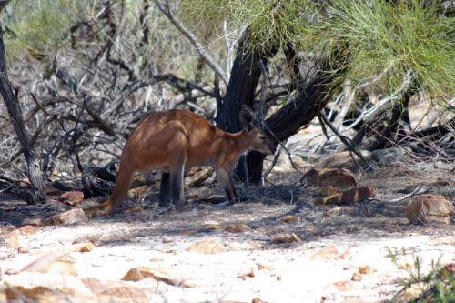 Kangaroo Kalbarri
