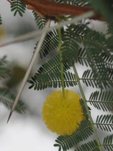Mimosa franska rivieran tanneron mandelieu la napoule