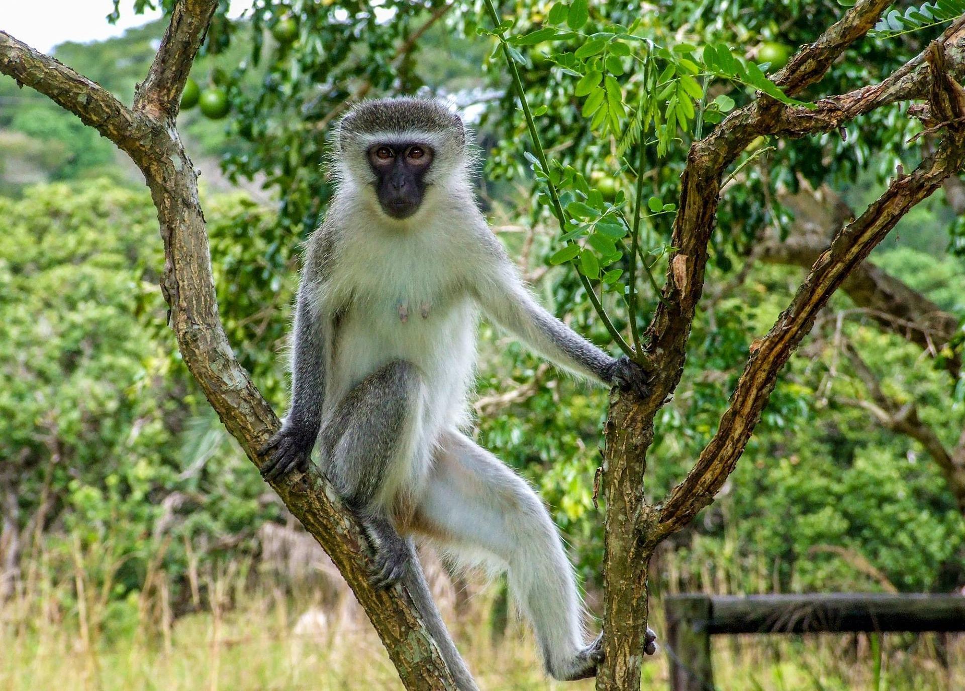 Apor Afrikas Djurliv