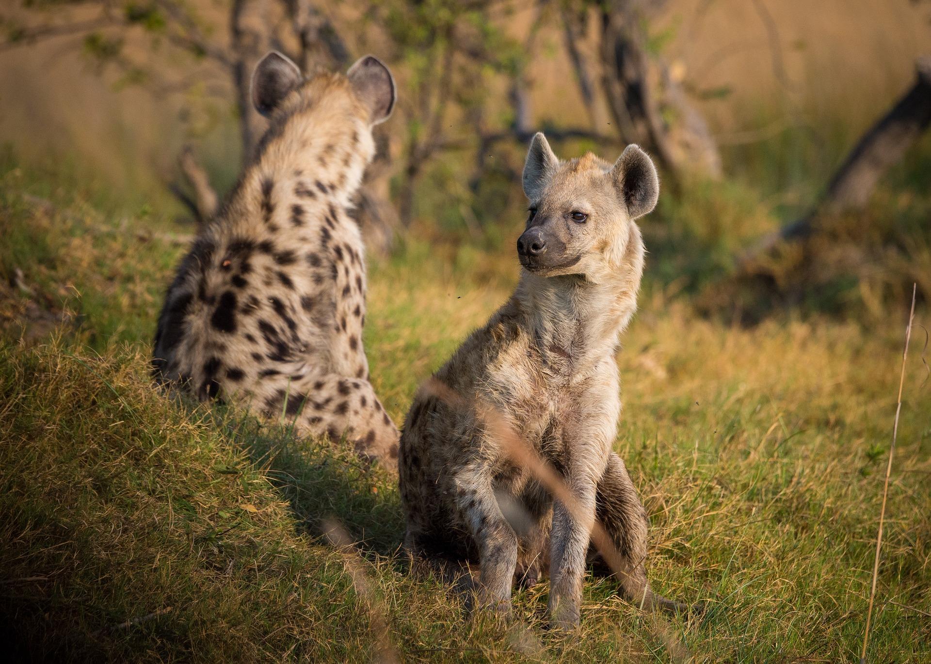 Hyenor Afrikas Djurliv