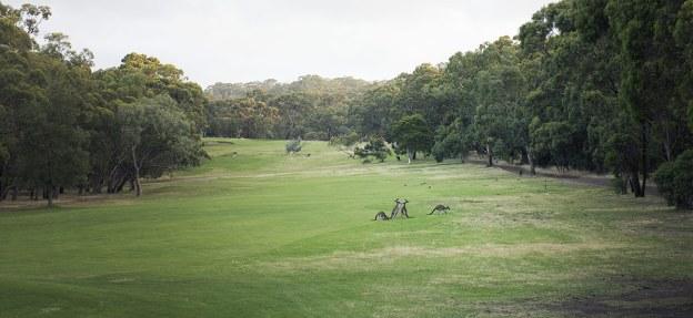 Kangaroos fighting on the fairway