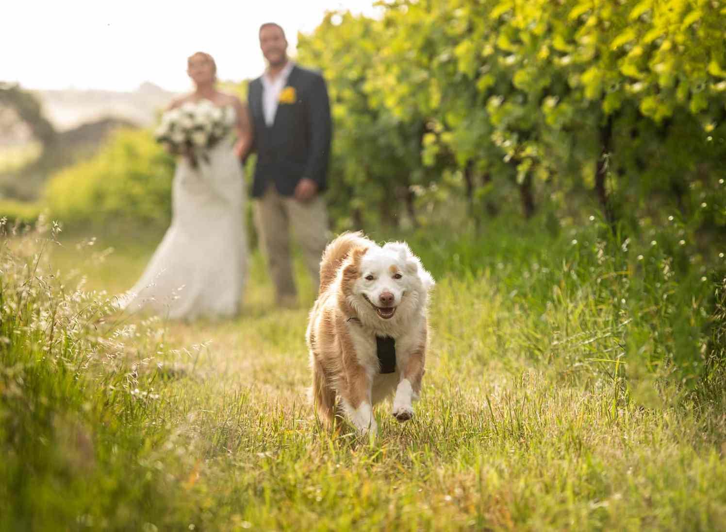 Dog running through vines on wedding day