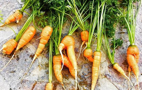 So sehen Bio-Karotten wirklich aus