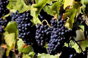 Вълшебството на червеното вино