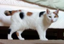 Manská kočka s krátkým ocasem