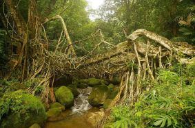 Most ze živých kořenů