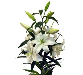 Цветы белой лилии