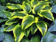 Хоста Ауреомаргината — сорта с желтой каймой