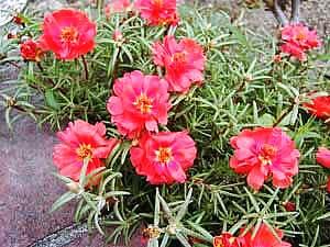 Portulaca_grandiflora