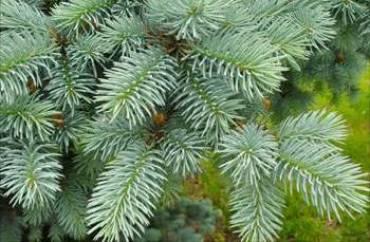 Хвойные деревья фото и названия для детей