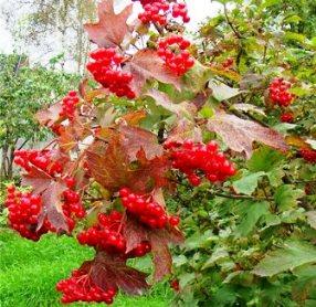 Калина - это дерево или кустарник