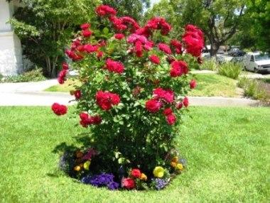 Розы флорибунда описание фото сорта