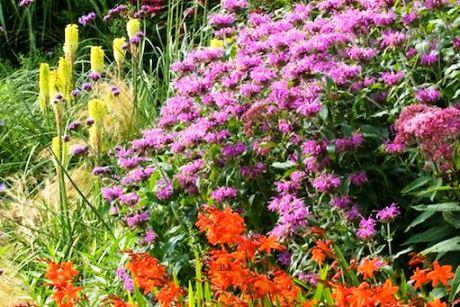 Монарда в садовых композициях