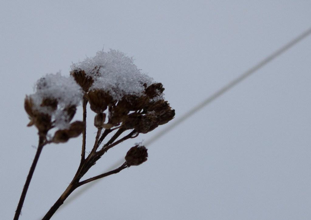 natur,blomst,vinter,foto
