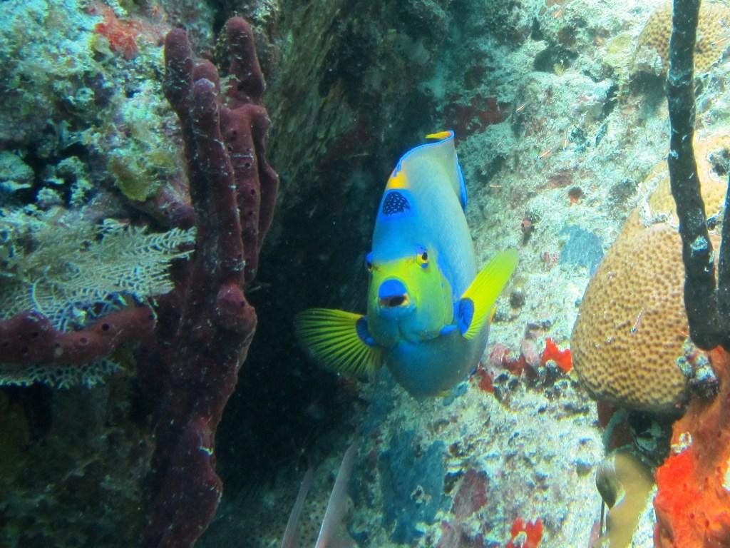 Queen anglefish