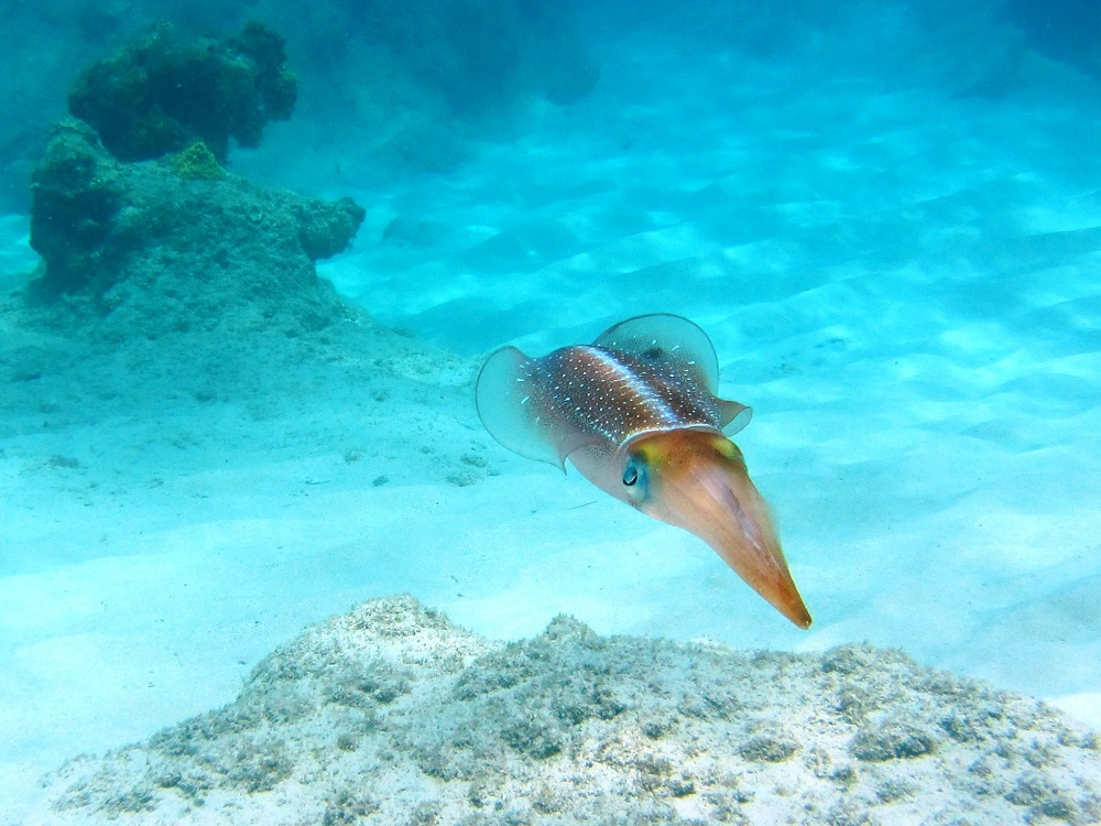 Squid swimming along