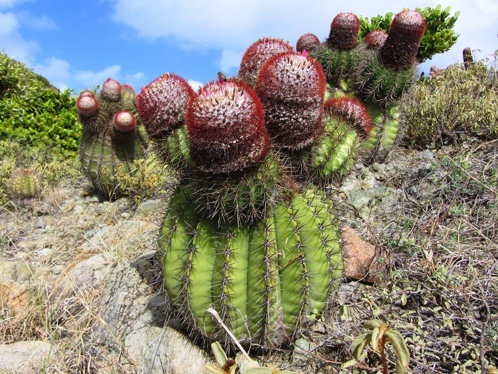 Turkhead Cactus