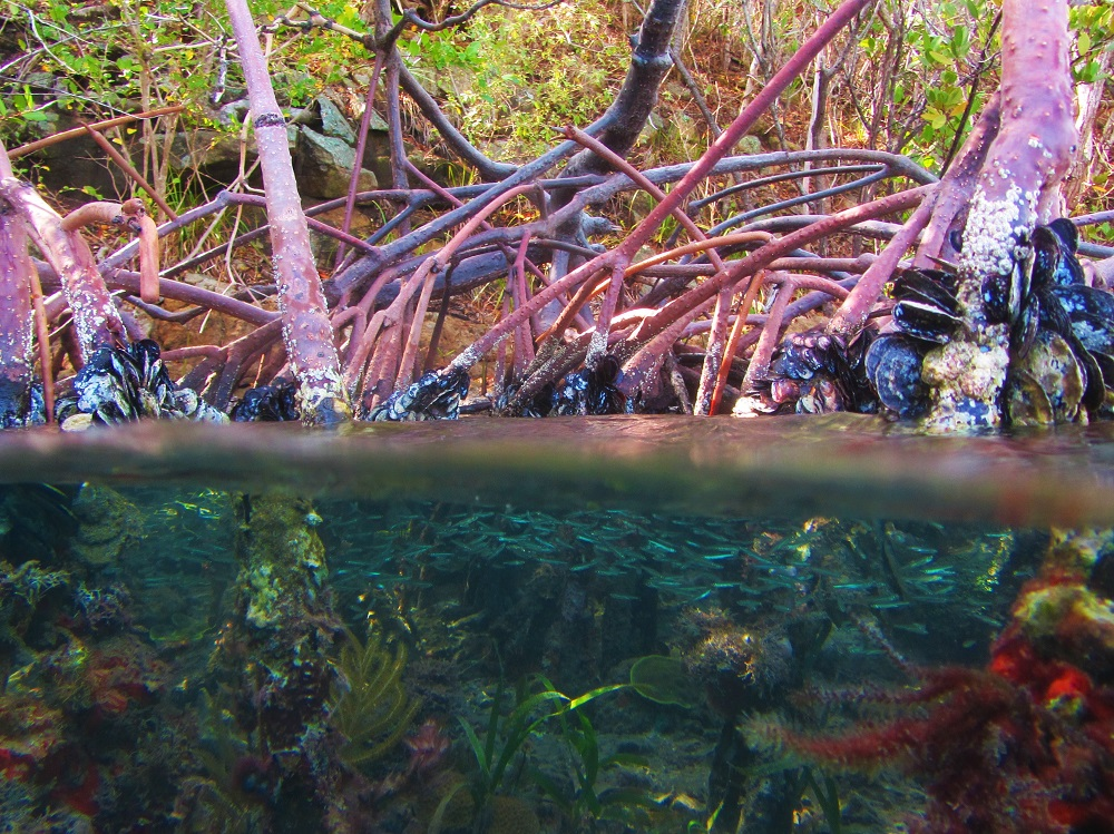 Mangroves with picture half out of water
