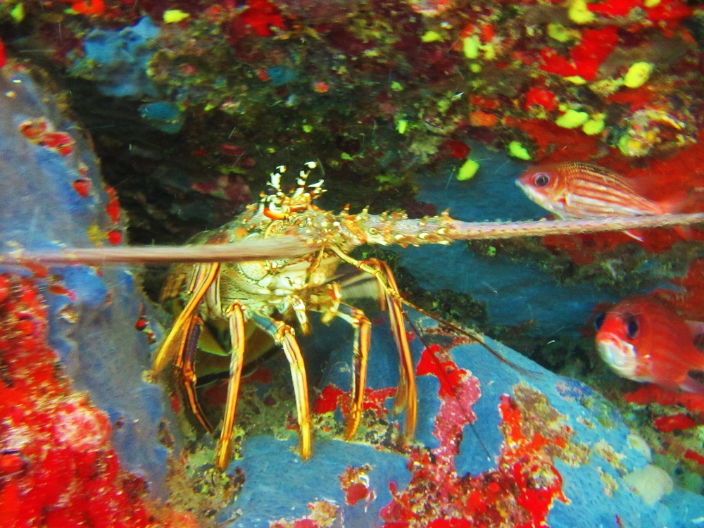 Underwater - Lobster With Lots Of Color Around