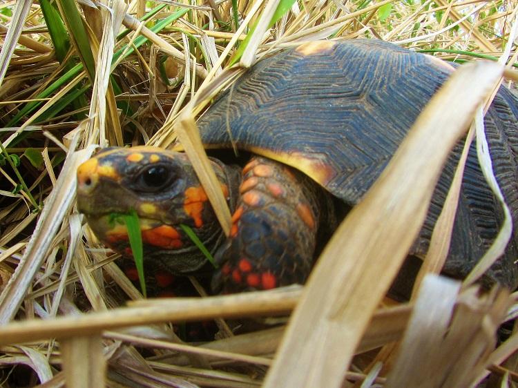 St Barts tortoise