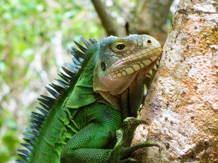 Statia - Iguana
