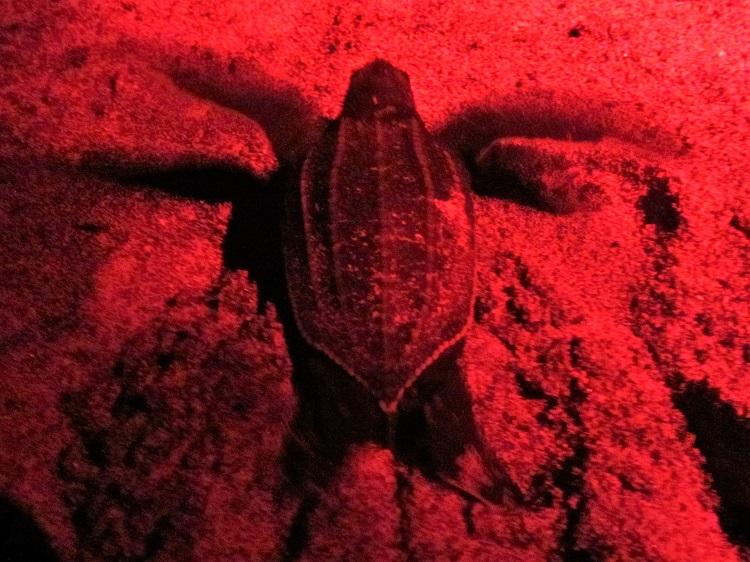 POTD - Cruising - Grenada - Turtle Hatchling
