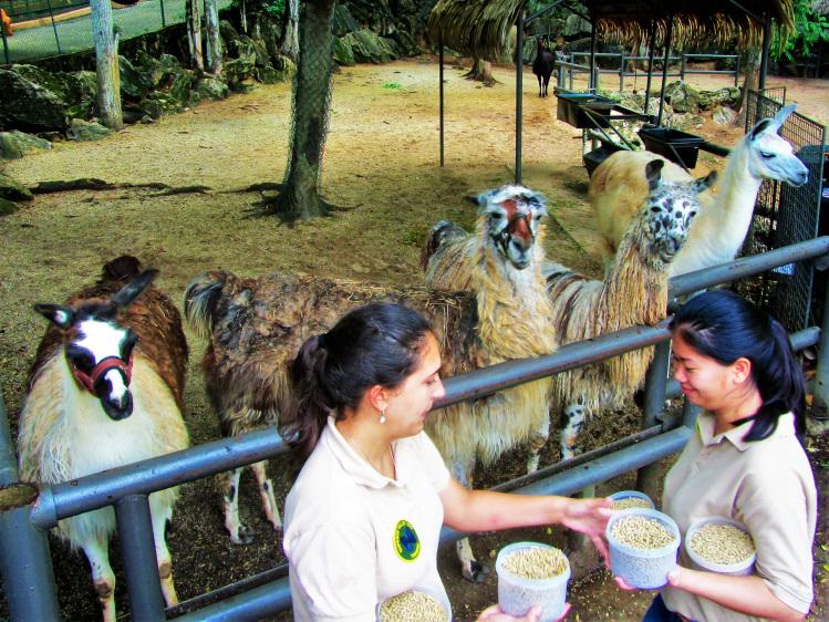 Emperor Valley Zoo - Feeding lamas