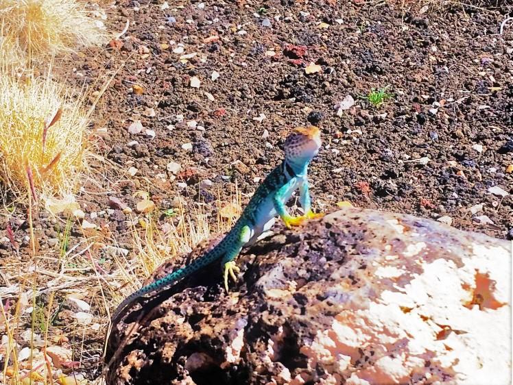 Wupatki NM - Lizard