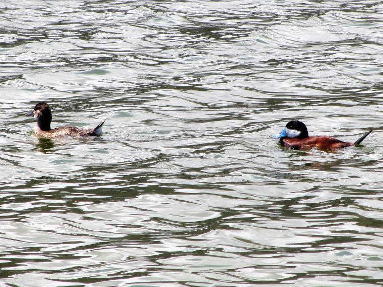 Ducks on the Great Salt Pond