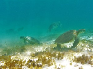 Tobago Cays turtles 4
