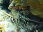 Wildlife - Lobster