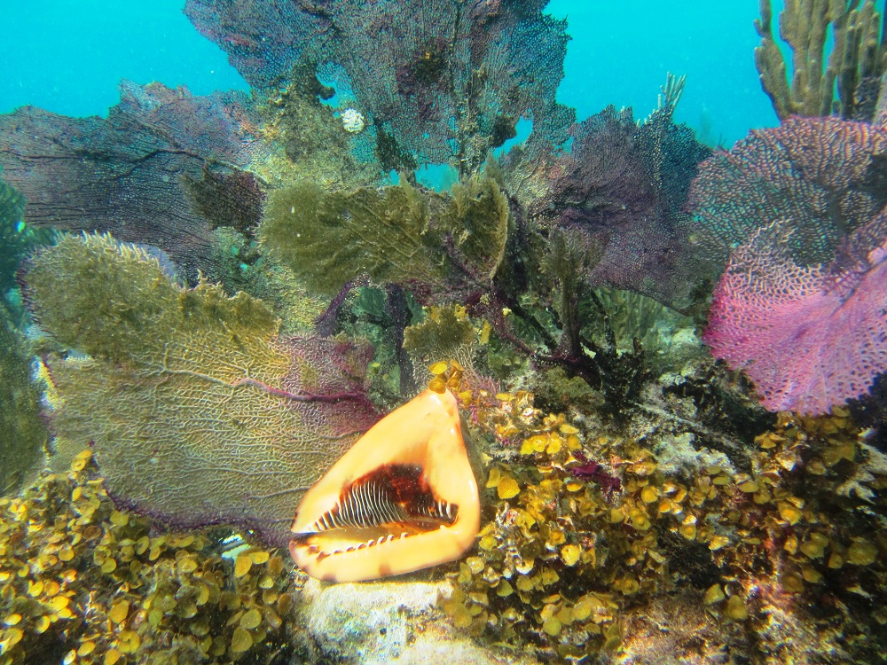 King Conch In a Reef