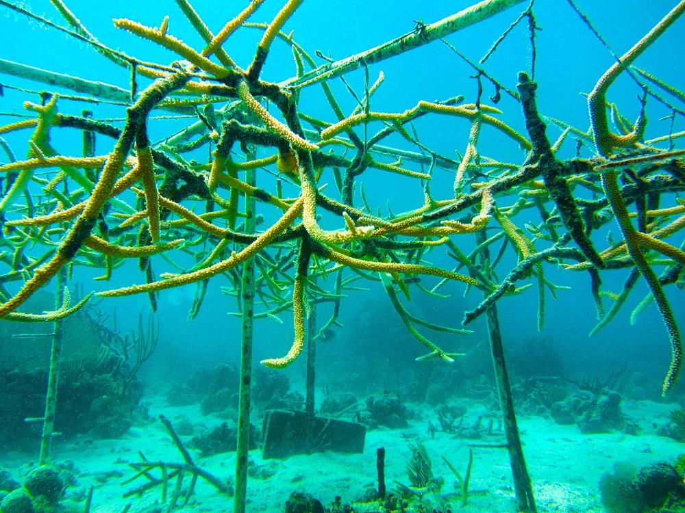 Stag horn coral farm