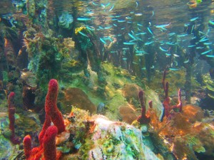 Minnows and coral