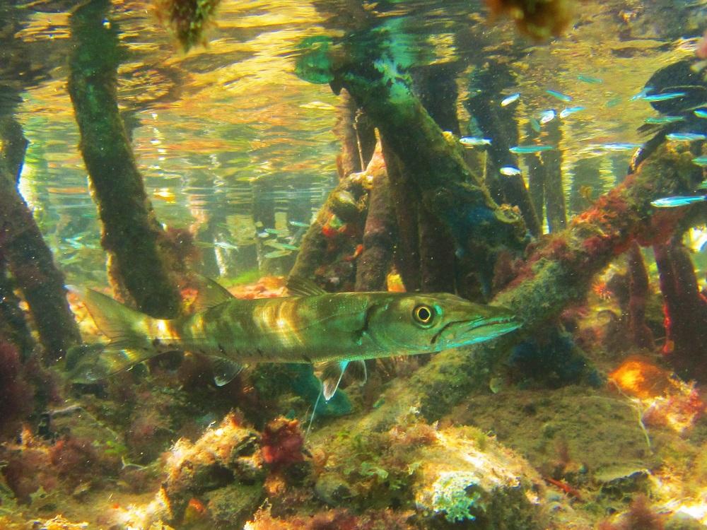Baracuda in the Mangroves