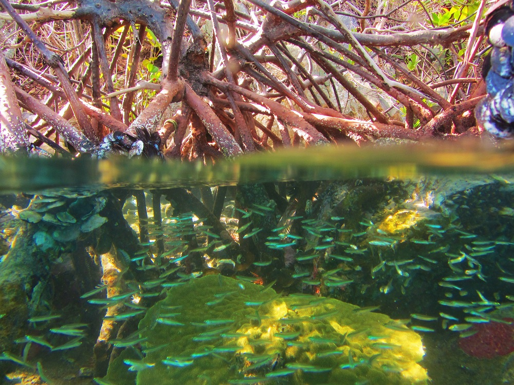 Mangroves - Half Out Of Water