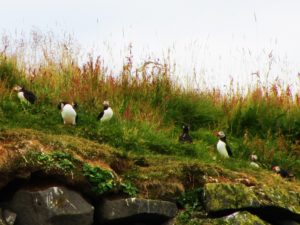 Iceland - 9 Puffins - 7 Of Them