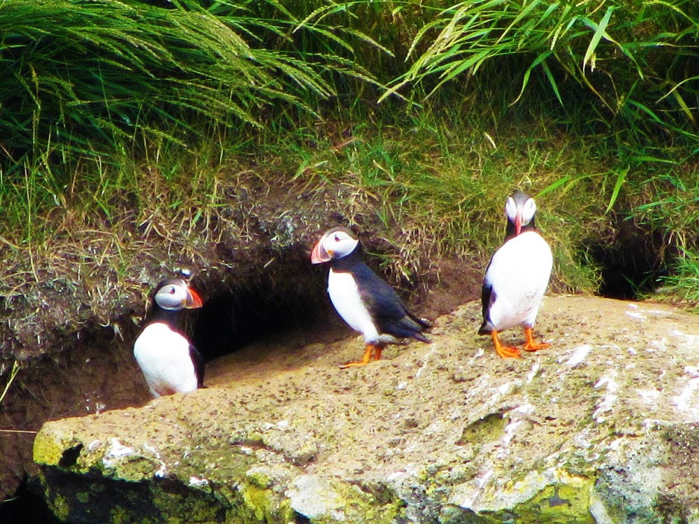 Travel - Iceland - Puffins