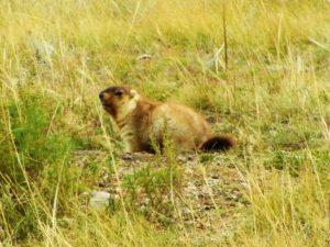 mongolia-6-hustai-np-marmot