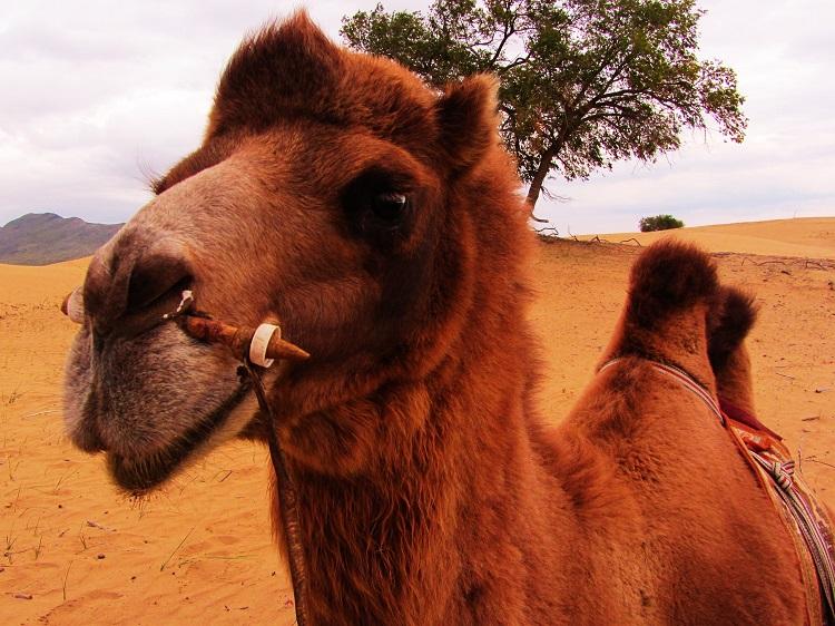 mongolia-potd-7-elsen-tasarkhai-camel