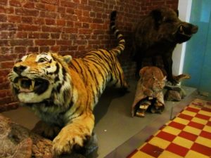 russia-vladivostok-regional-museum-tiger-lynx-boar