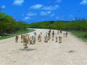 Riding with goats in Barbuda