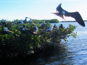 Frigate birds in Barbuda 1