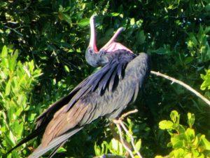 Frigate birds in Barbuda 3