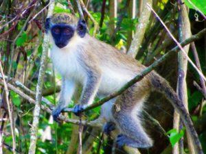 Nevis green back monkey