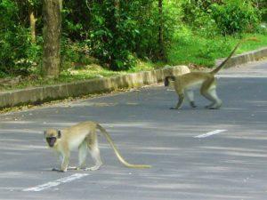 Nevis Monkey are a pest